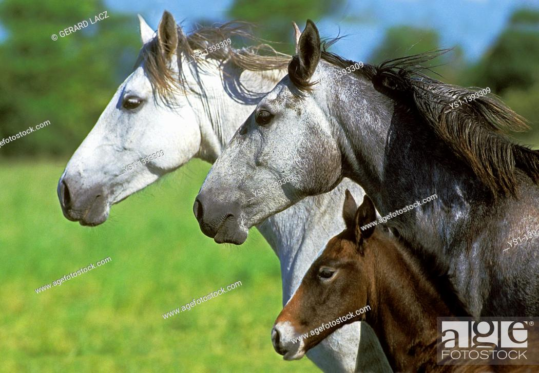 Stock Photo: Lusitano Horse, Mare with Foal.