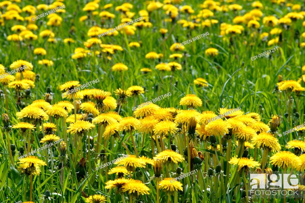 Stock Photo: Common Dandelion (Taraxacum vulgare), with yellow flowers in grass field in spring.