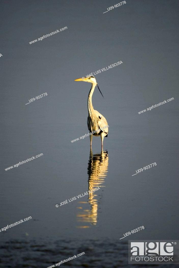 Stock Photo: Grey Heron (Ardea cinerea), Salinas de San Pedro Natural Park, Murcia.