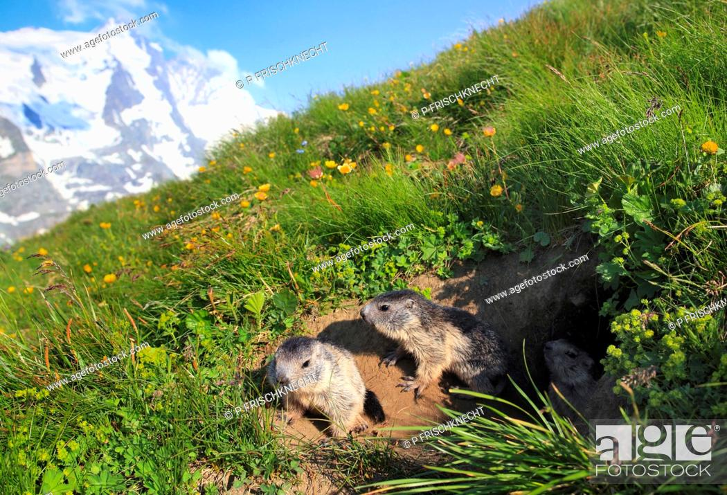 Stock Photo: alpine marmot Marmota marmota, two juveniles at the den in a mountain meadow in front of panoramic view of Grossglockner, Austria, Hohe Tauern National Park.