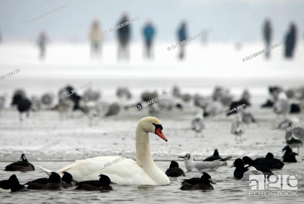 Stock Photo: Several species of birds in a hole in the ice People walk on the ice in the background.