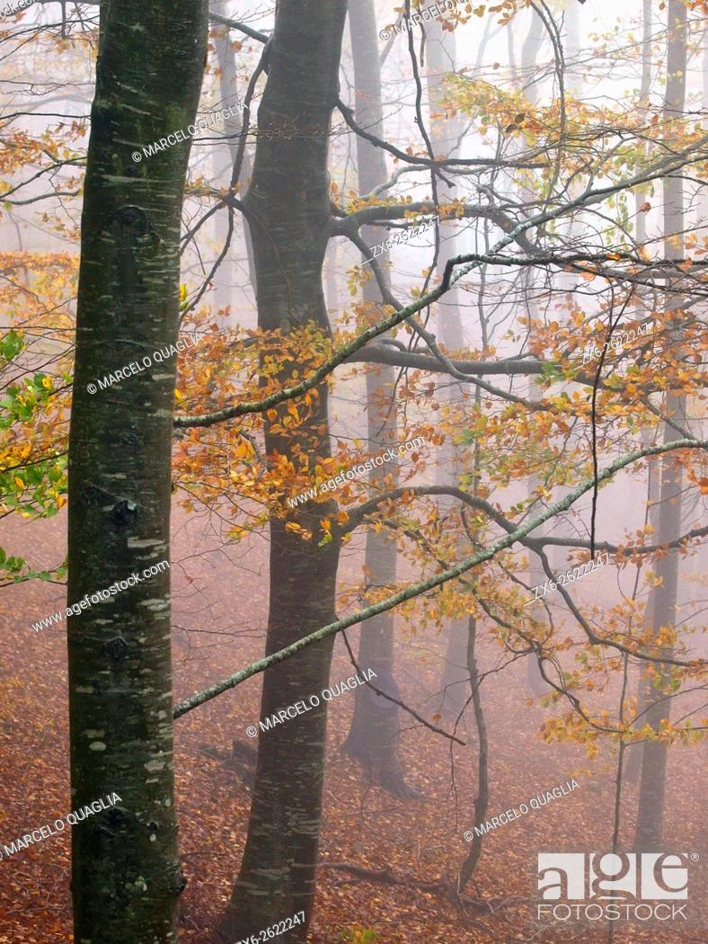 Stock Photo: Autumn beech forest (Fagus sylvatica) on a foggy and rainy afternoon at Montseny Natural Park. Barcelona province, Catalonia, Spain.