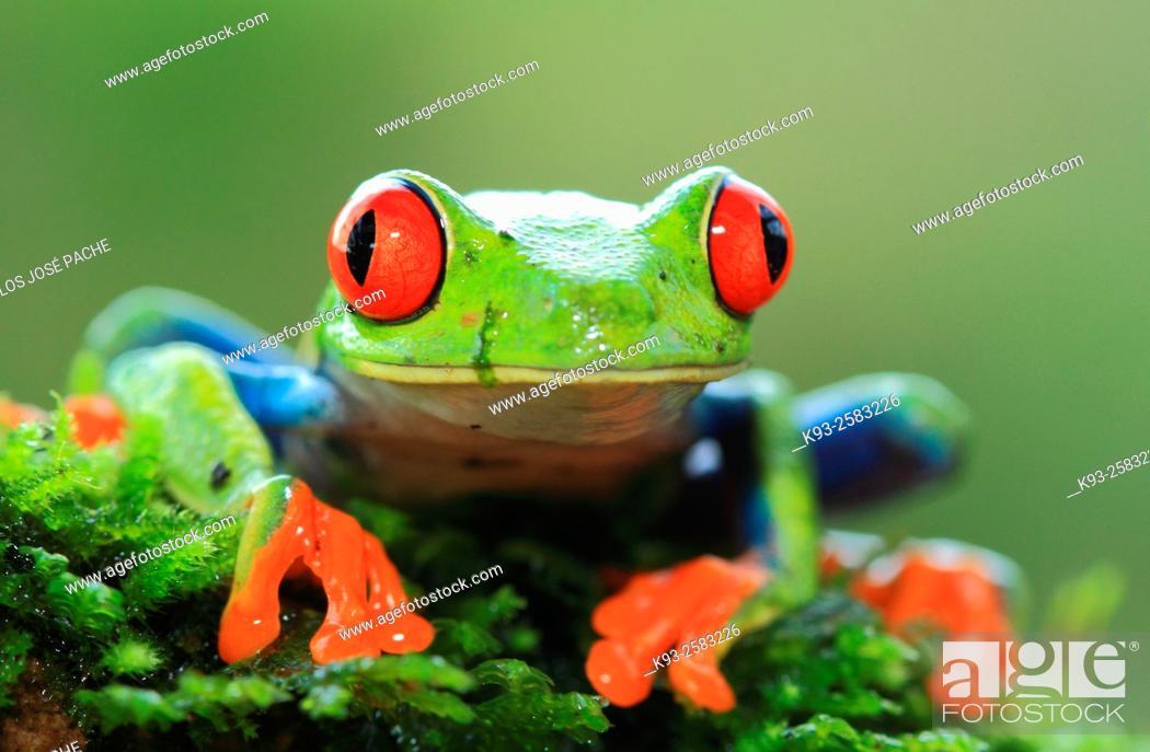 Imagen: Rana verde de Ojos rojos (Agalychnis callidryas) en el Parque Nacional Volcán Arenal, Costa Rica.