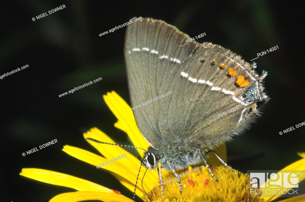 Stock Photo: Close-up of a blue-spot hairstreak butterfly Strymonidia spini with closed wings feeding on a yellow flower in a woodland margin in Slovenia.