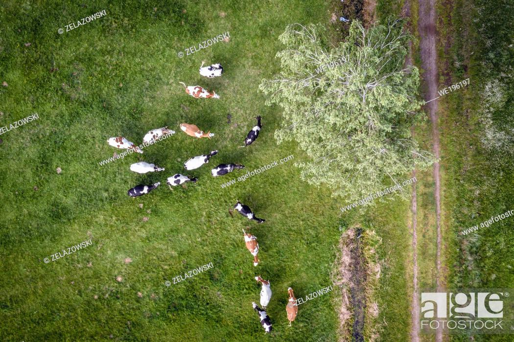 Stock Photo: Herd of cows on a meadow in Wegrow County, Mazovian Voivodeship in east central Poland.