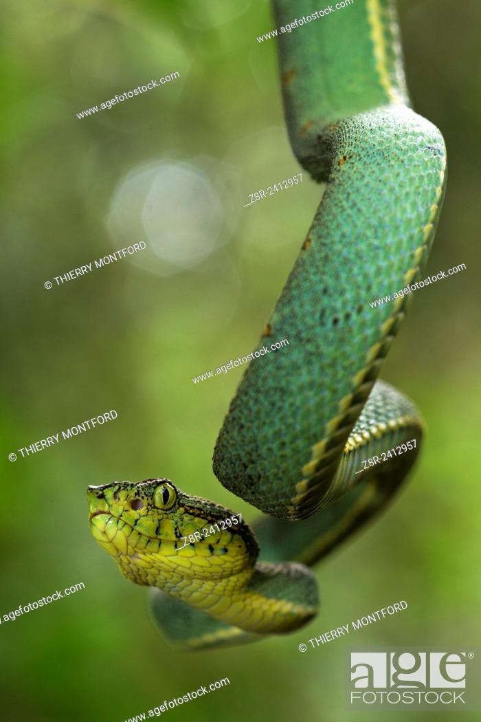 Stock Photo: Bothriopsis bilineata. Green jararaca. Tree Viperid. Venomous Snake (solenoglyph) mostly nocturnal. Behaviour varies according to the specimen.
