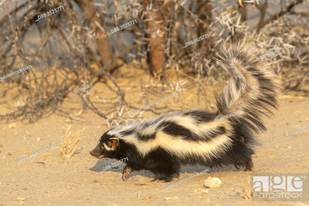 Stock Photo: Africa, Namibia, Private reserve, Striped polecat or African Polecat (Ictonyx striatus), captive.