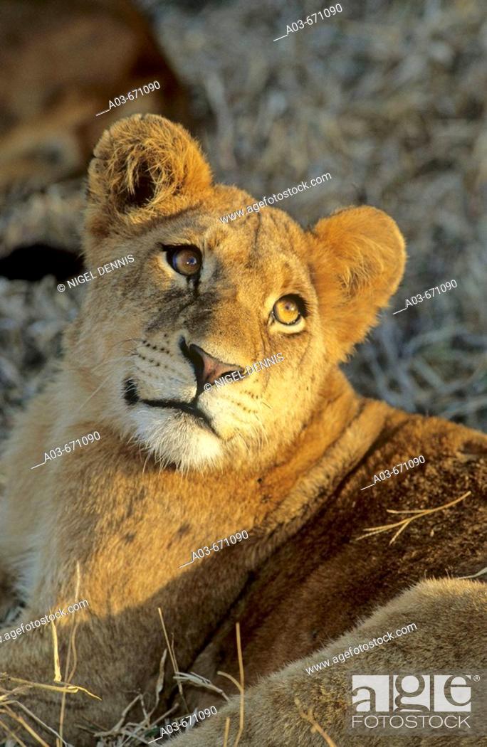 Stock Photo: Lion Cub, Panthera leo, Sabi Sabi, Greater Kruger National Park, South Africa.