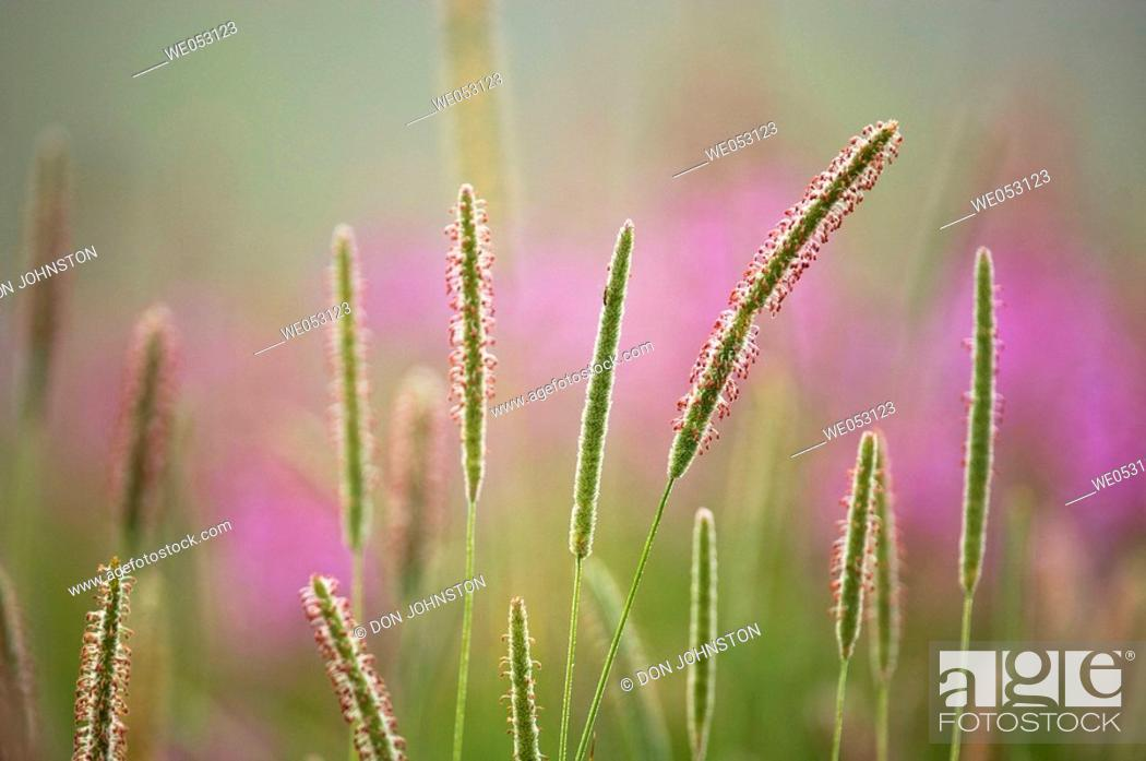 Stock Photo: Timothy (Phleum pratense). In misty field with fireweedand goldenrod.