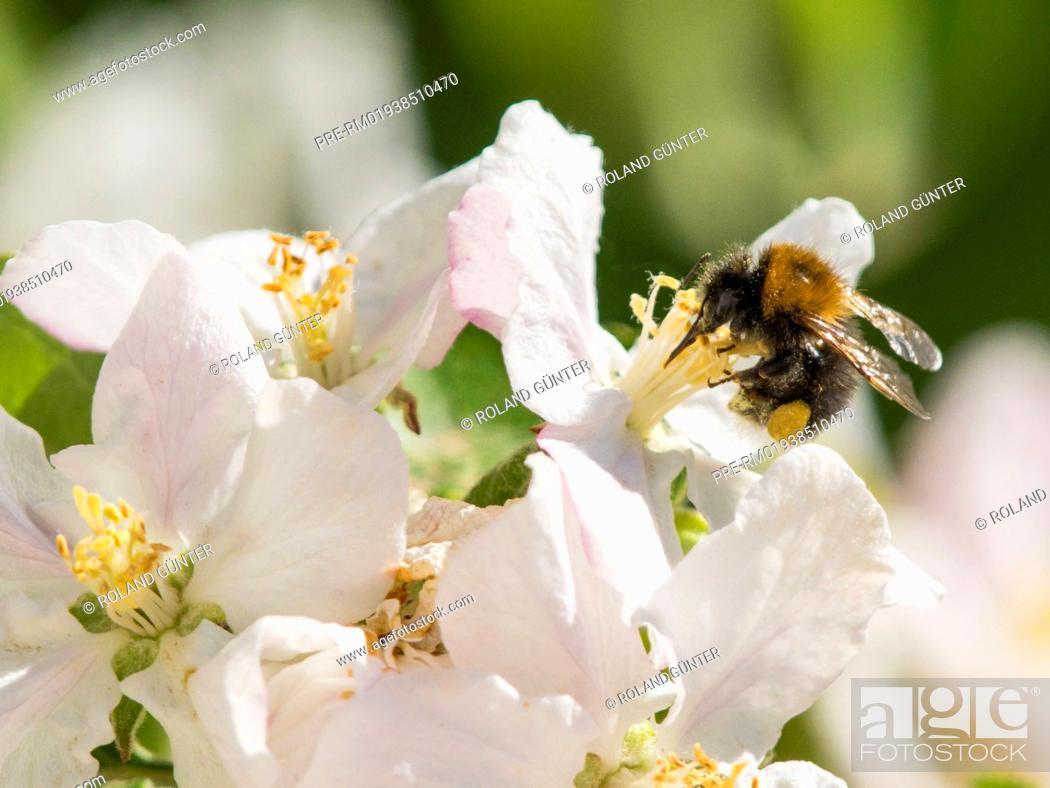 Imagen: Tree bumblebee (Bombus hypnorum) on apple blossoms (Malus domesticus) / Baumhummel (Bombus hypnorum) auf Apfelblüten (Malus domesticus).