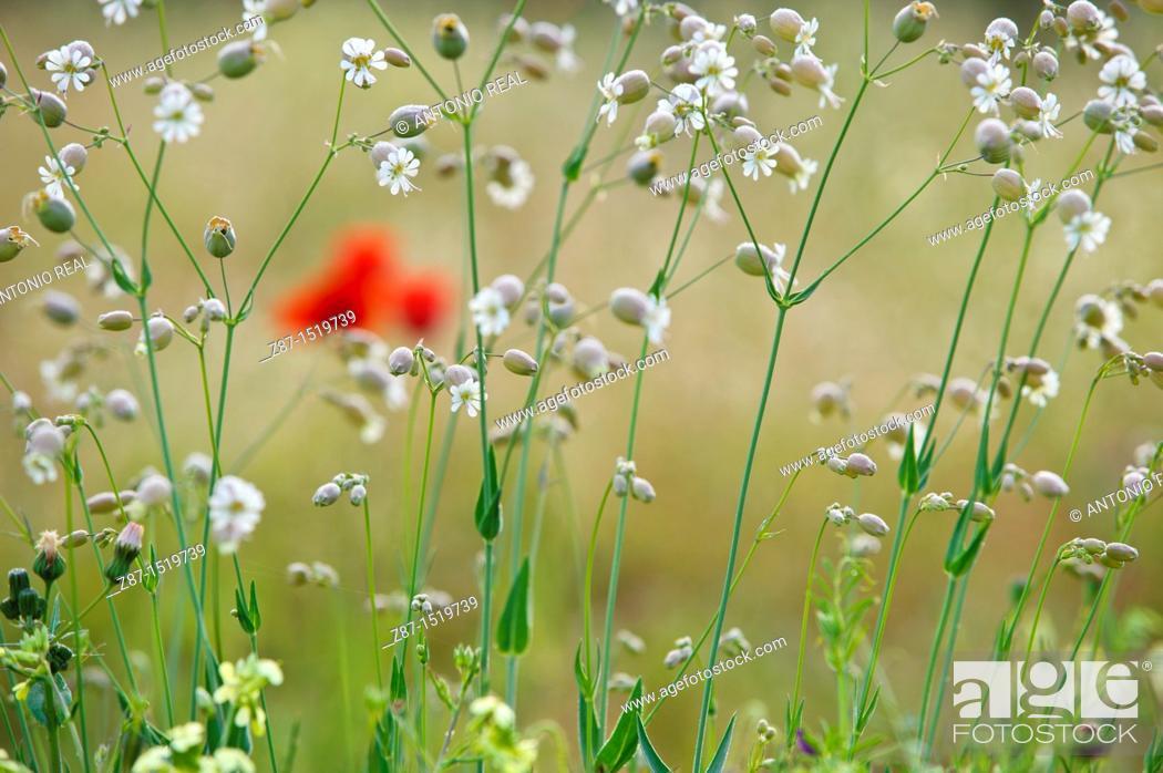 Stock Photo: Poppies (Papaver rhoeas) in field, Almansa, Albacete province, Castilla-La Mancha, Spain.