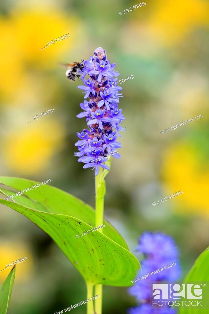 Stock Photo: Pickerelweed, Pontederia cordata, Ellerstadt, Germany, Europe, blooming at gardenpond with bumblebee.