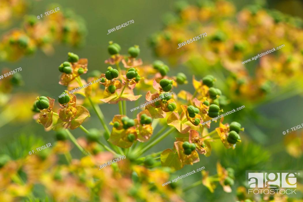 Stock Photo: cypress spurge (Euphorbia cyparissias), fruiting, Germany.