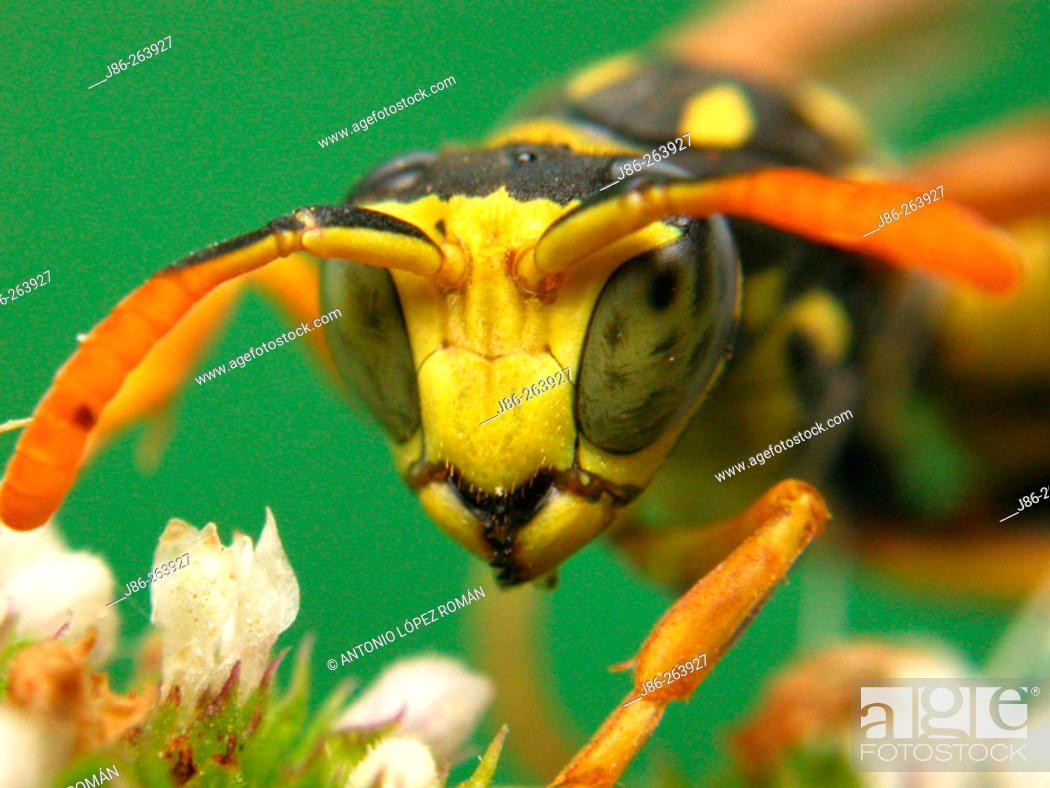 Stock Photo: Wasp.