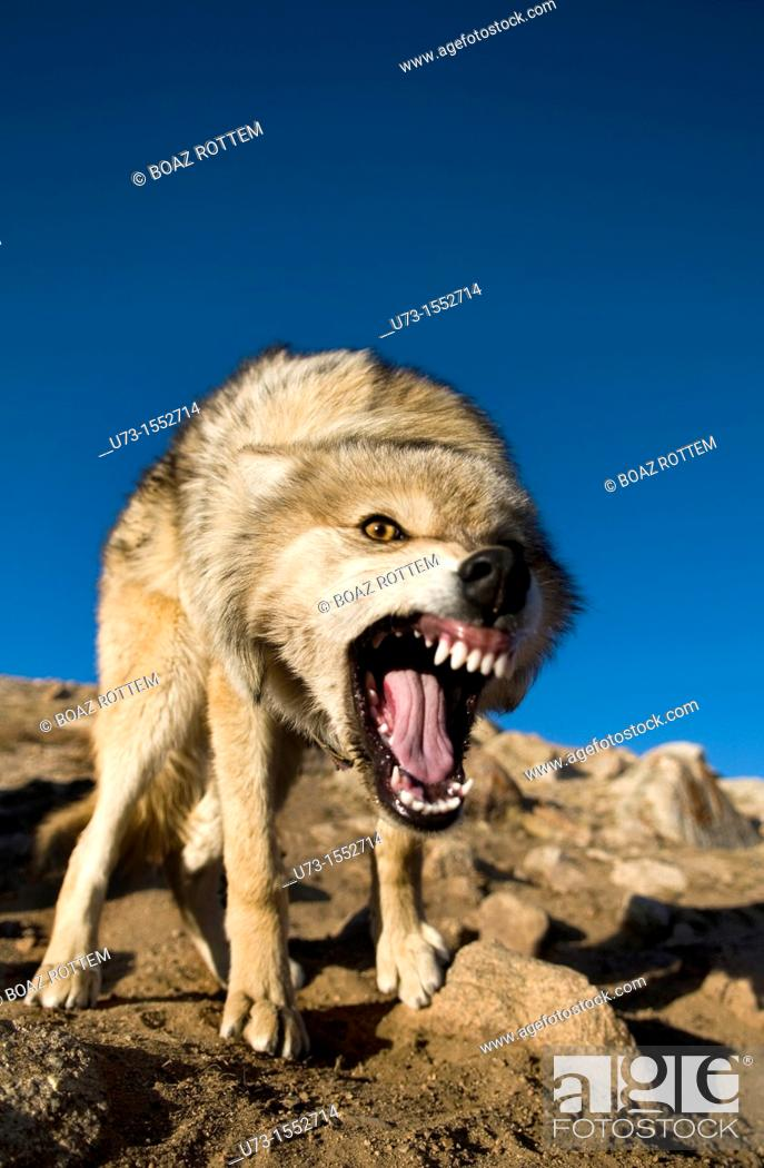 Stock Photo: A wild wolf charging his prey in the mountains of the Altai region of western Mongolia.