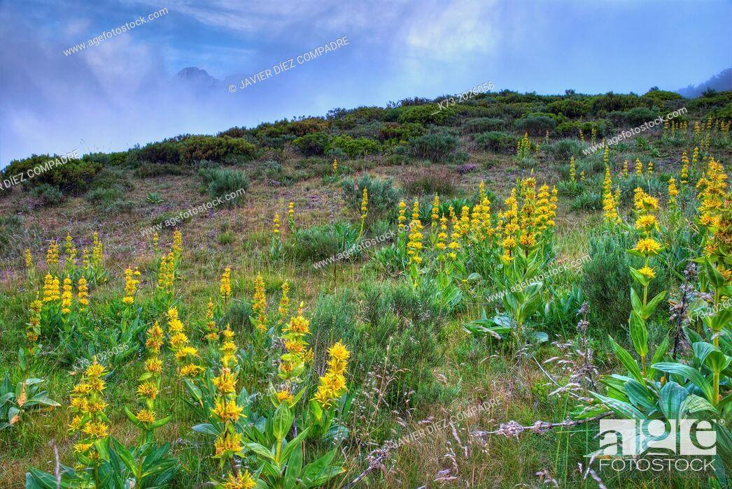 Stock Photo: Yellow Gentian (Gentiana Lutea). Valdeon Valley. Picos de Europa National Park. Leon Province. Castilla y Leon. Spain.