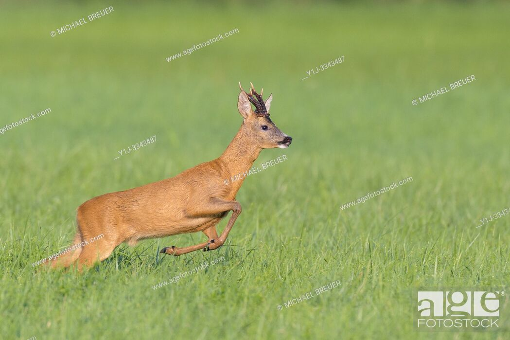 Stock Photo: Jumping Western Roe Deer (Capreolus capreolus), Roebuck, Summer, Hesse, Germany, Europe.