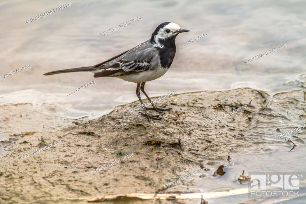 Stock Photo: Germany, Saarland, Niederbexbach, A white wagtail is searching for fodder on the river Blies.