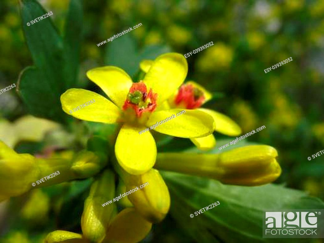 Yellow Flowers Of Golden Currant Ribes Aureum Against Green Leaves