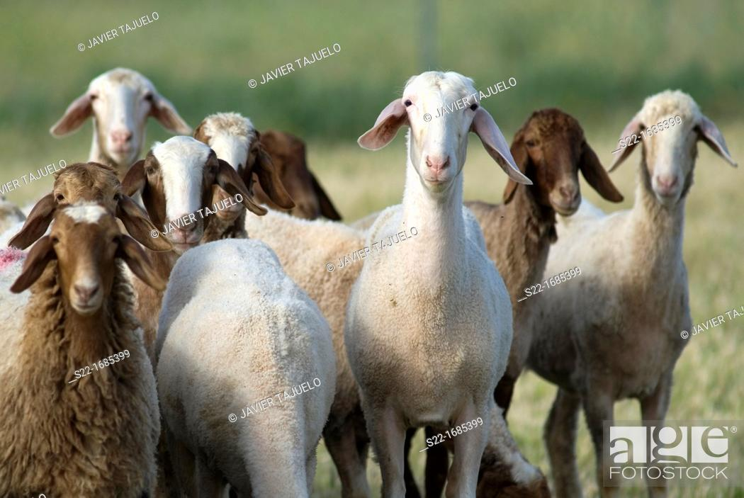 Stock Photo: Sheep, Ovis orientalis aries.