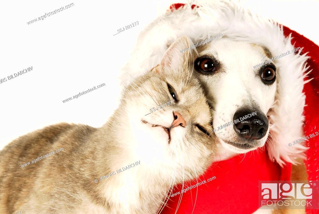 b9b9e48b68c37 Stock Photo - Domestic cat cuddling up to a Whippet