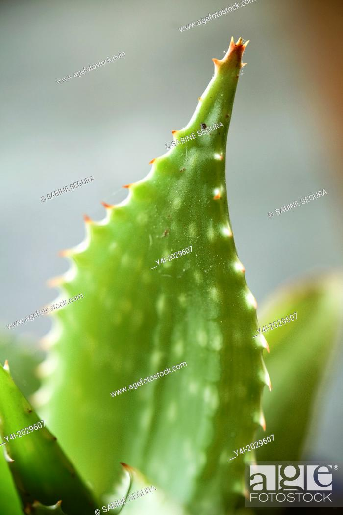 Stock Photo: Aloe concinna. Aloe coccinea.