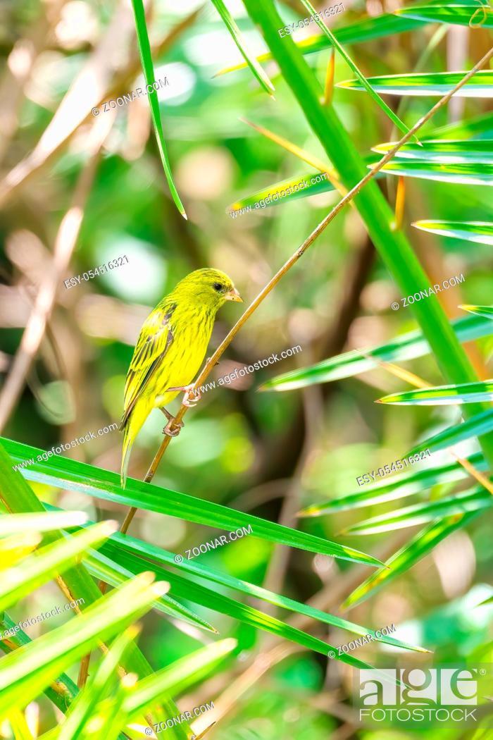 Stock Photo: The yellow-crowned canary (Serinus flavivertex) is a small passerine bird in the finch family. Wondo Genet, Ethiopia Africa safari wildlife.