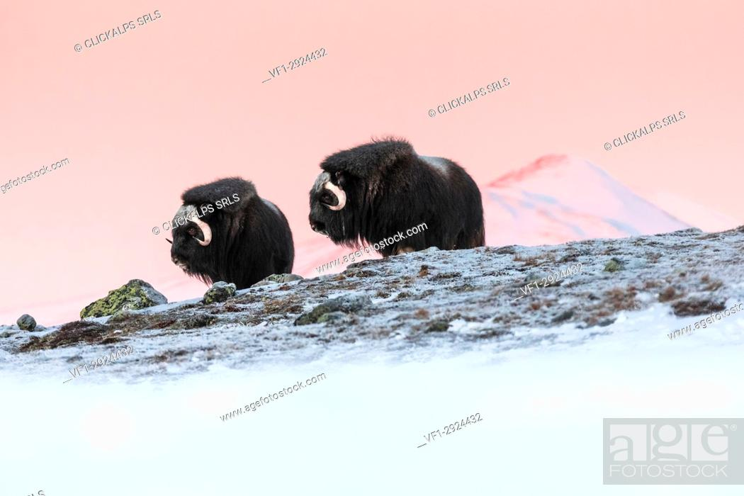 Stock Photo: Dovrefjell National Park, Oppdal, Norway.