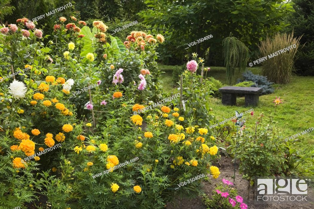 Stock Photo: Yellow Tagetes - Marigold and pink and orange Dahlia flowers with charcoal coloured stone sitting bench in backyard garden in late summer.