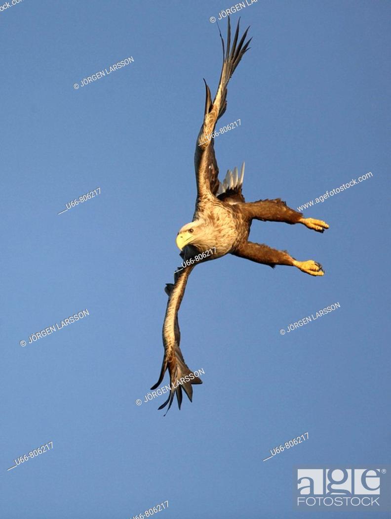 Stock Photo: White-tailed Eagle (Haliaeetus albicilla), Norway.