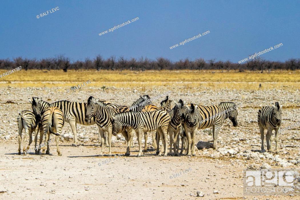 Stock Photo: Namibia, Etosha National Park - Mountain Zebra.