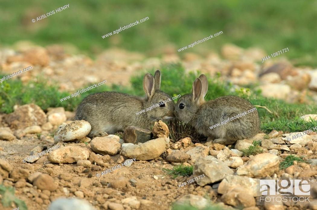 Stock Photo: Junge Wildkaninchen, Oryctolagus.