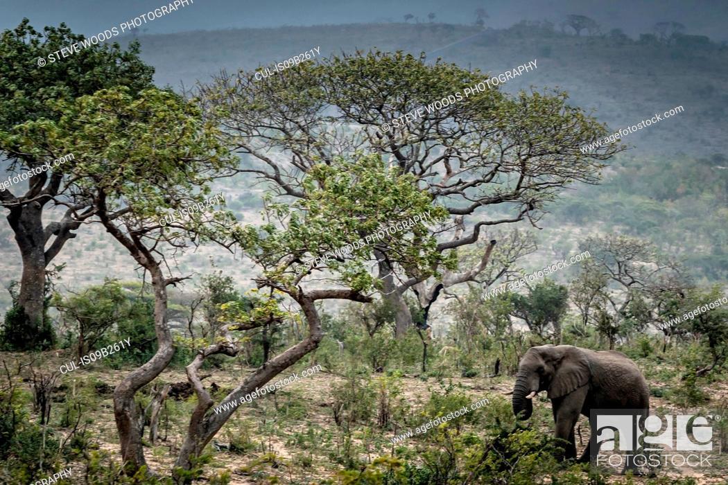 Stock Photo: Wild African Elephant eating leaves, Hluhluwe-Imfolozi Park, South Africa.