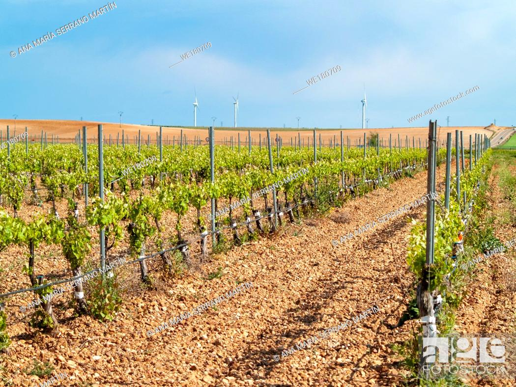 Stock Photo: A landscape of rural culture in espalier vineyard in spring in the denomination of origin Ribera del Duero in Spain.