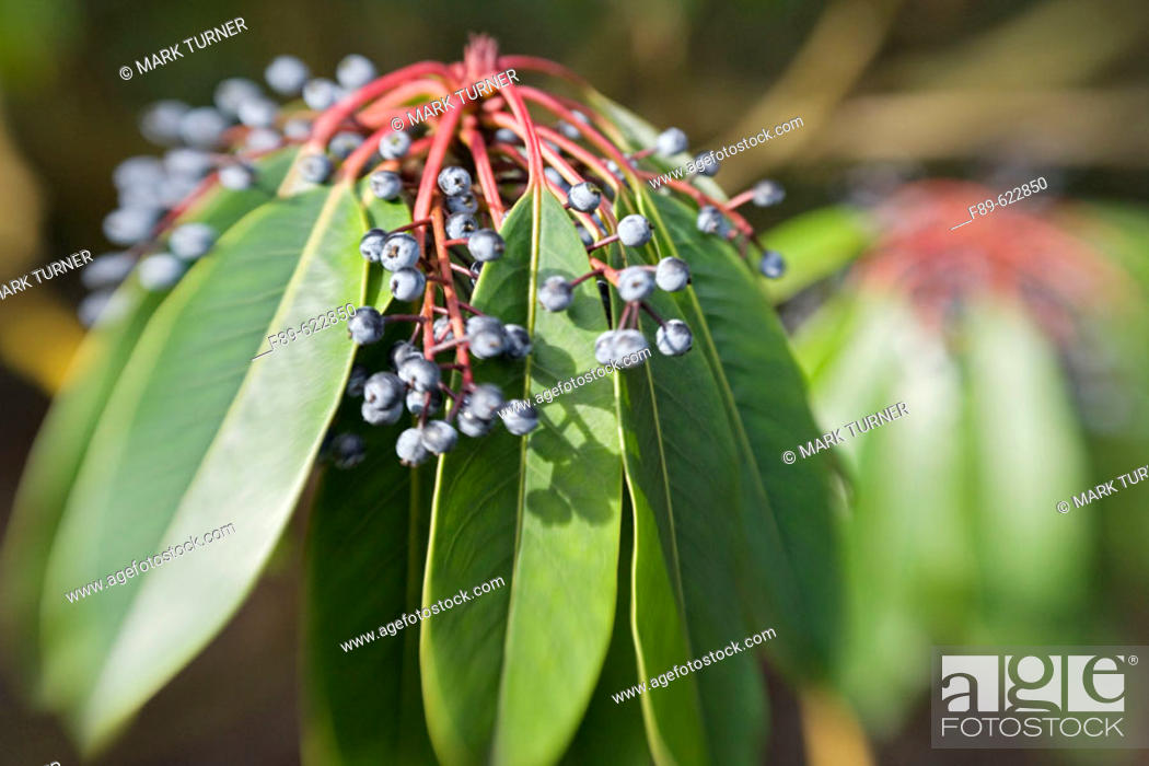 Stock Photo: Yuzuri-ha fruit & foliage, blur effect (Daphniphyllum macropodum). VanDusen, Vancouver, BC.