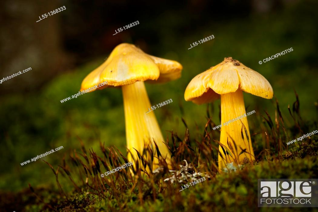 Stock Photo: Hygrocybe.