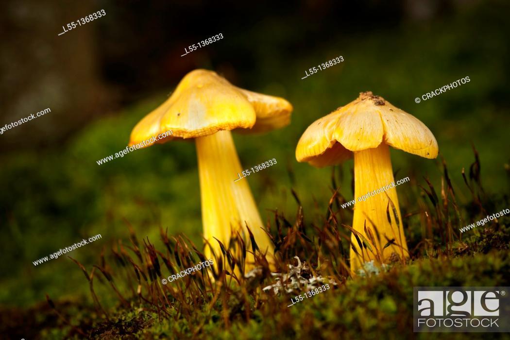 Stock Photo: Hygrocybe.