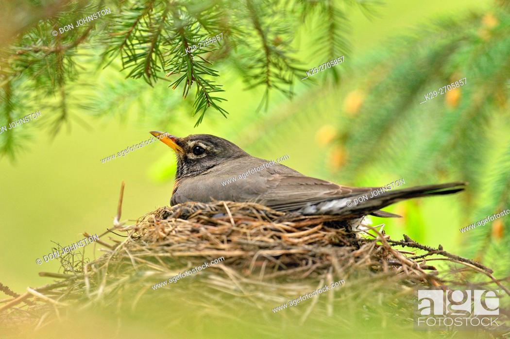 Stock Photo: American robin (Turdus migratorius) Adult incubating eggs, Greater Sudbury, Ontario, Canada.