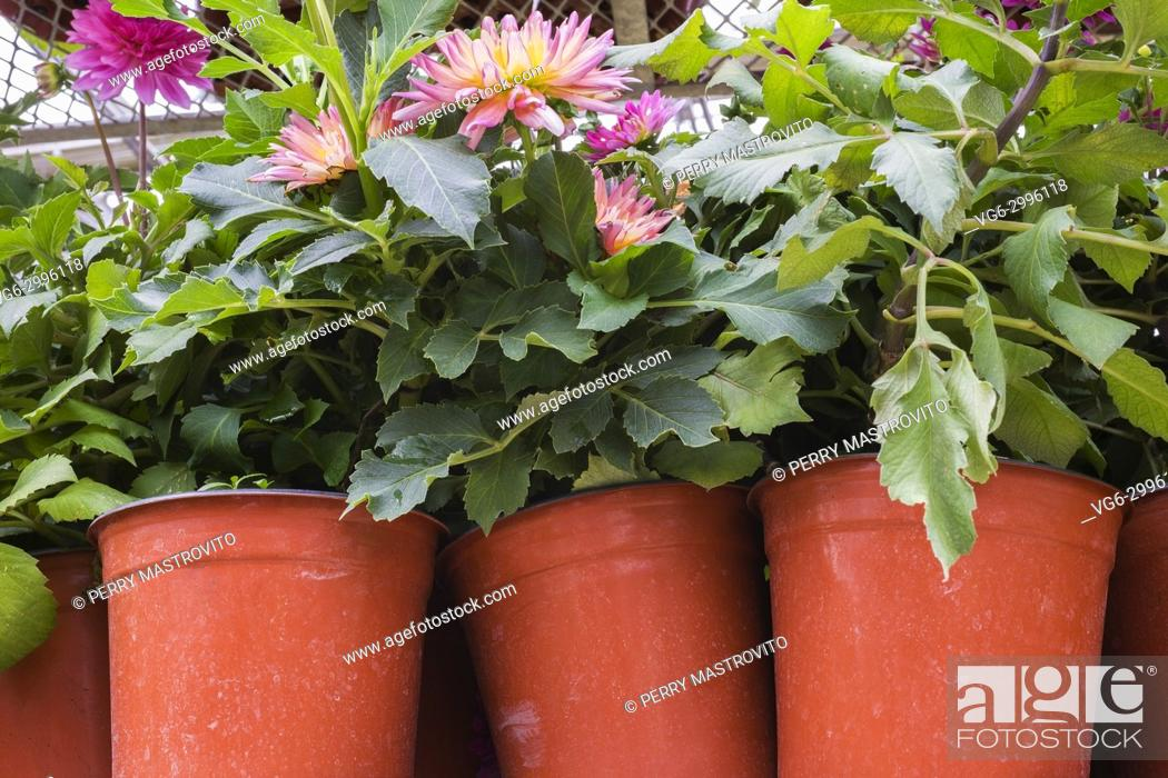 Stock Photo: Mauve and yellow green Dahlia flowers being grown in orange plastic containers inside a commercial greenhouse in summer, Quebec, Canada.