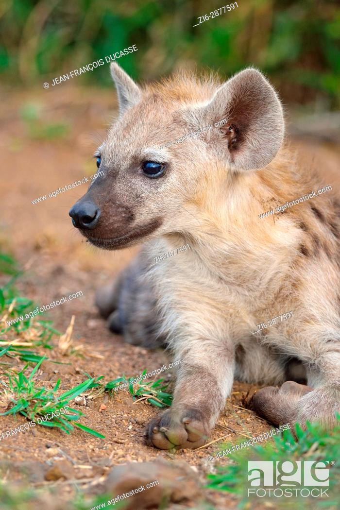 Stock Photo: Spotted hyena or Laughing hyena (Crocuta crocuta), young lying at burrow entrance, Kruger National Park, South Africa, Africa.