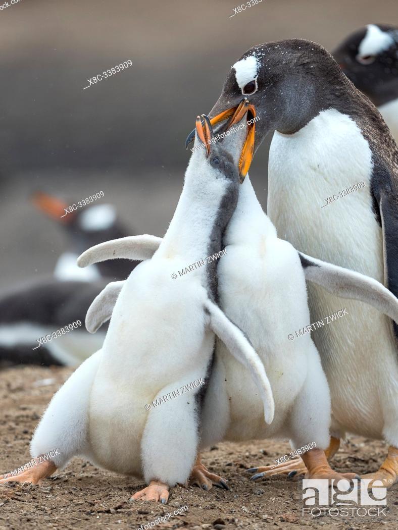 Stock Photo: Feeding of chick. Gentoo penguin (Pygoscelis papua) on the Falkland Islands. South America, January.