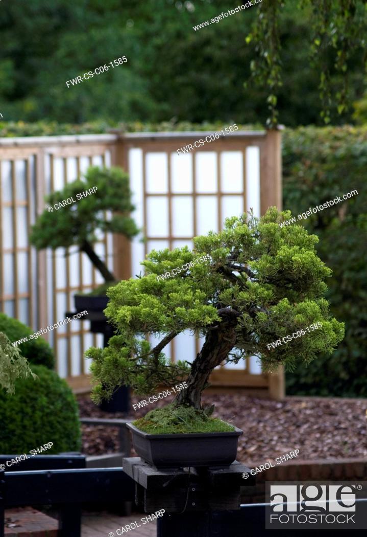 Juniperus Sinensis San Jose Bonsai Chinese Juniper Stock Photo Picture And Rights Managed Image Pic Fwr Cs C06 1585 Agefotostock