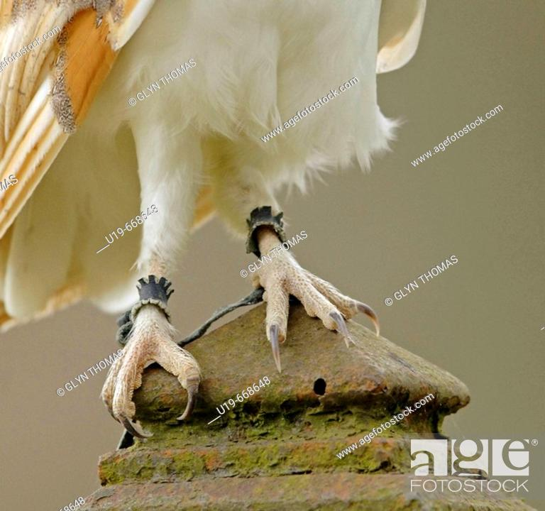 Stock Photo: Barn Owl (Tyto alba).