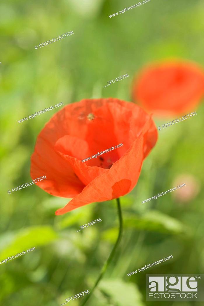 Stock Photo: Poppy flower.