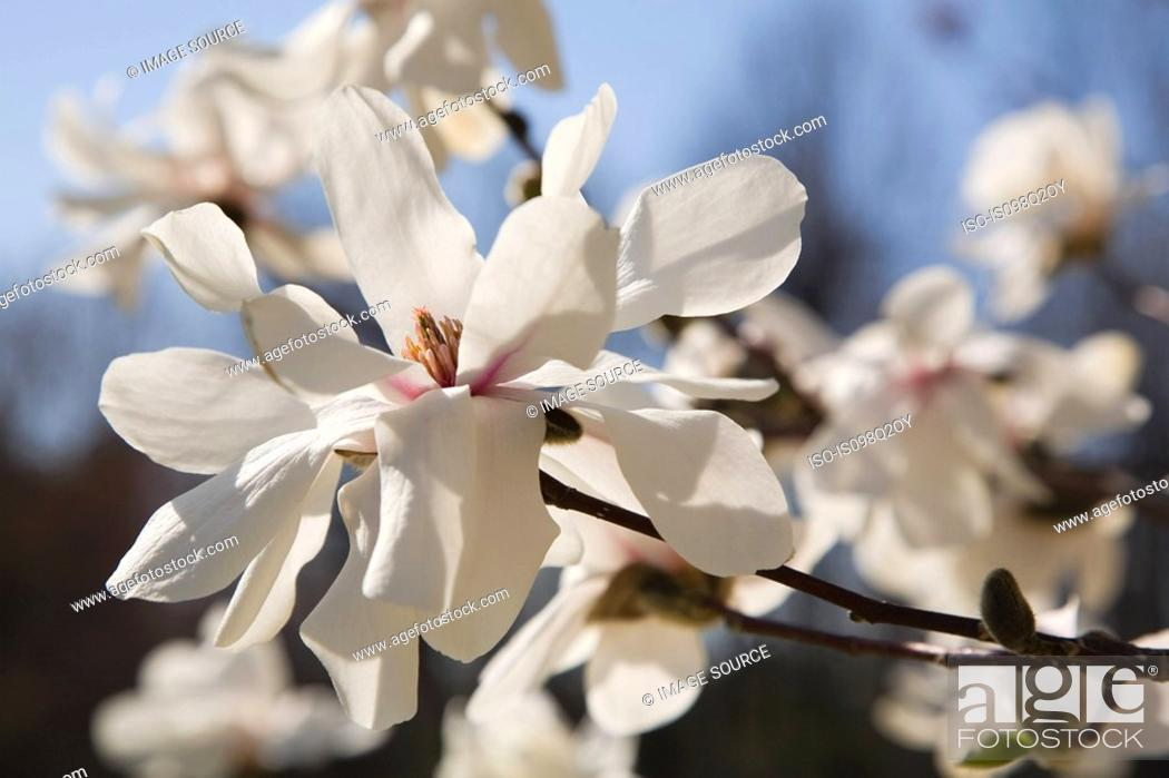 Stock Photo: Blossom on a tree.