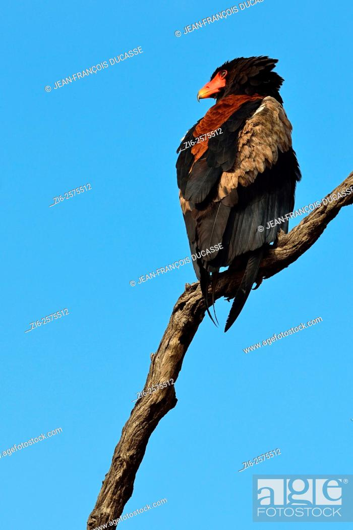 Stock Photo: Bateleur eagle (Terathopius ecaudatus), perched on dead tree, Kruger National Park, South Africa, Africa.