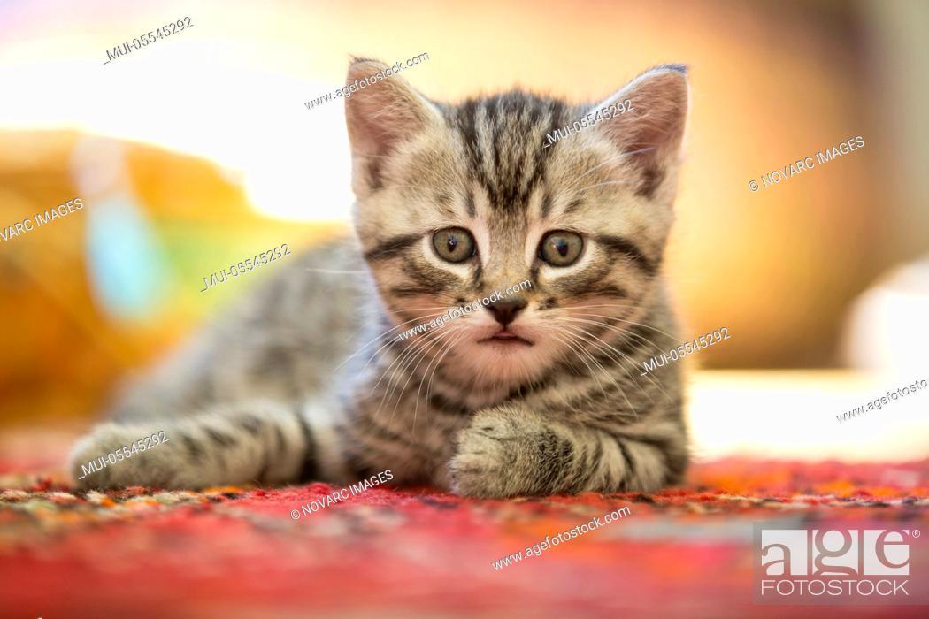 Stock Photo: Kitten lies on a carpet.