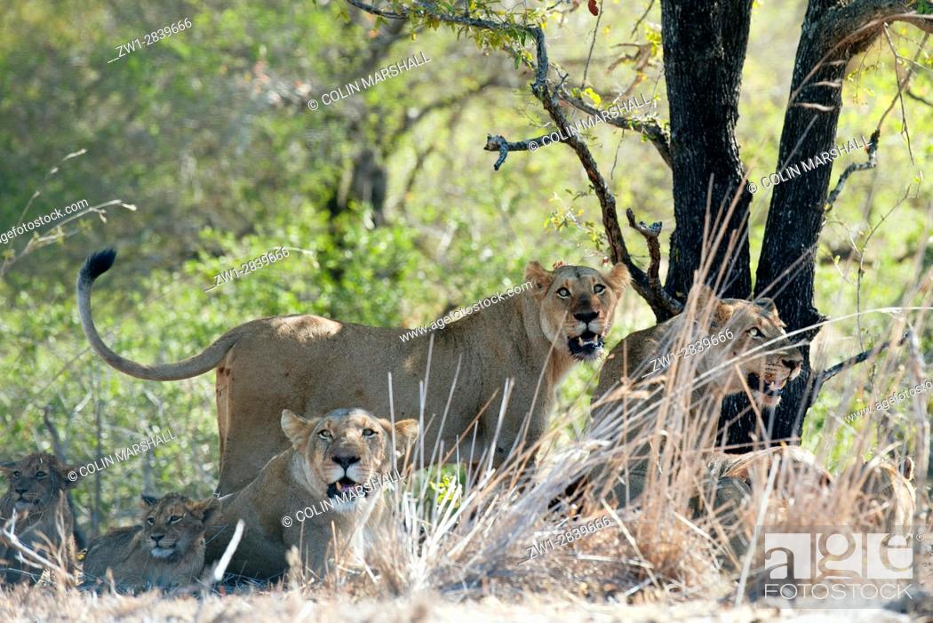 Stock Photo: Female Lion (Panthera leo) standing up amongst pride and cubs, Kruger National Park, Transvaal, South Africa.