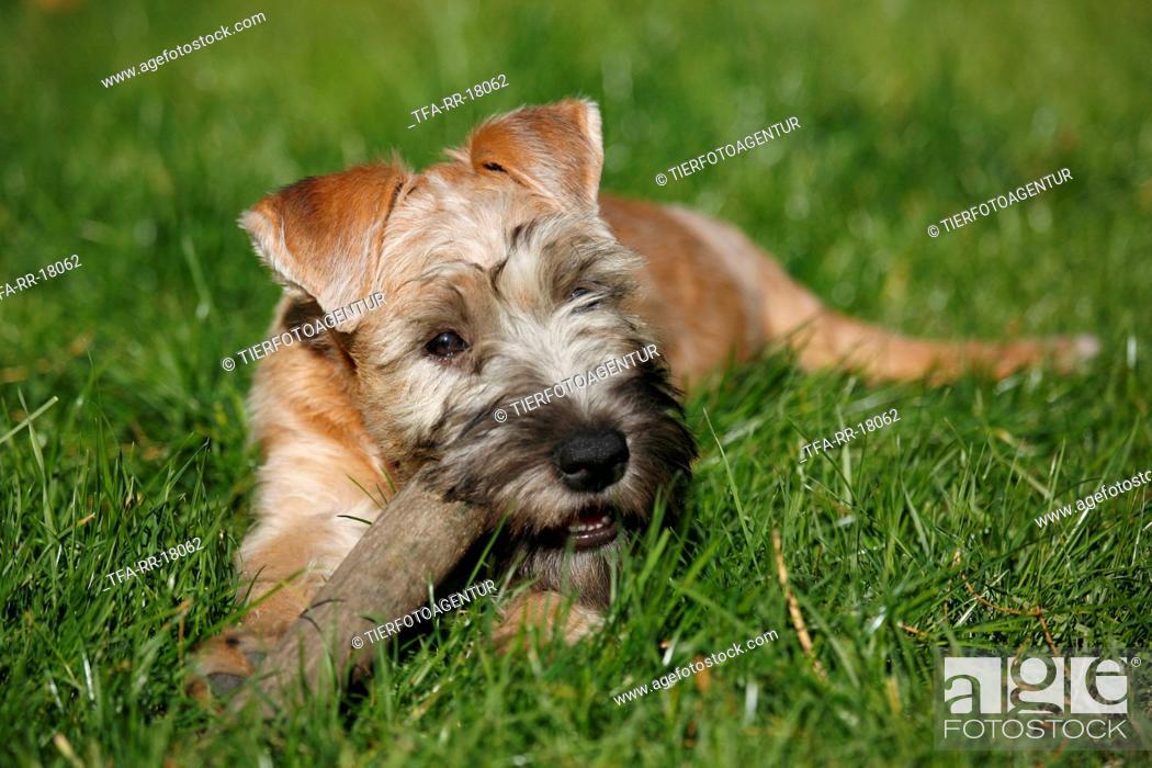 Stock Photo: Irish Soft Coated Wheaten Terrier.