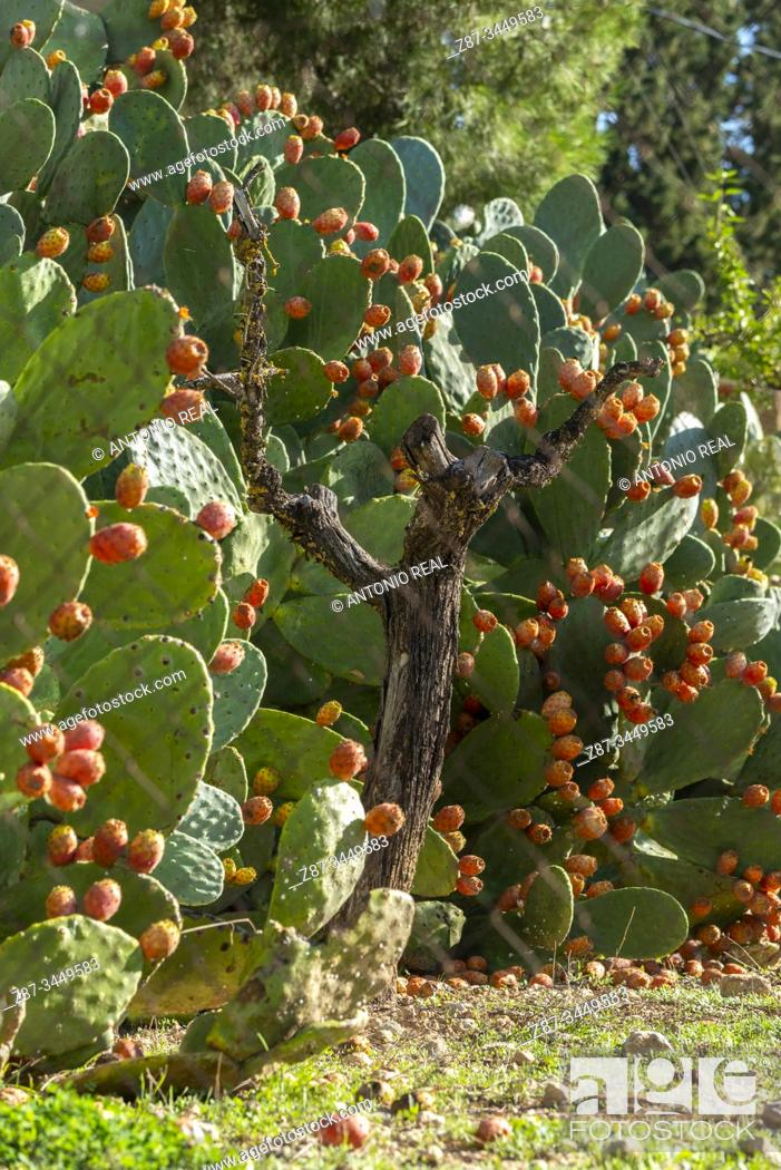 Stock Photo: Prickly pear (Opuntia ficus-indica). Almansa, Albacete Province, Spain.